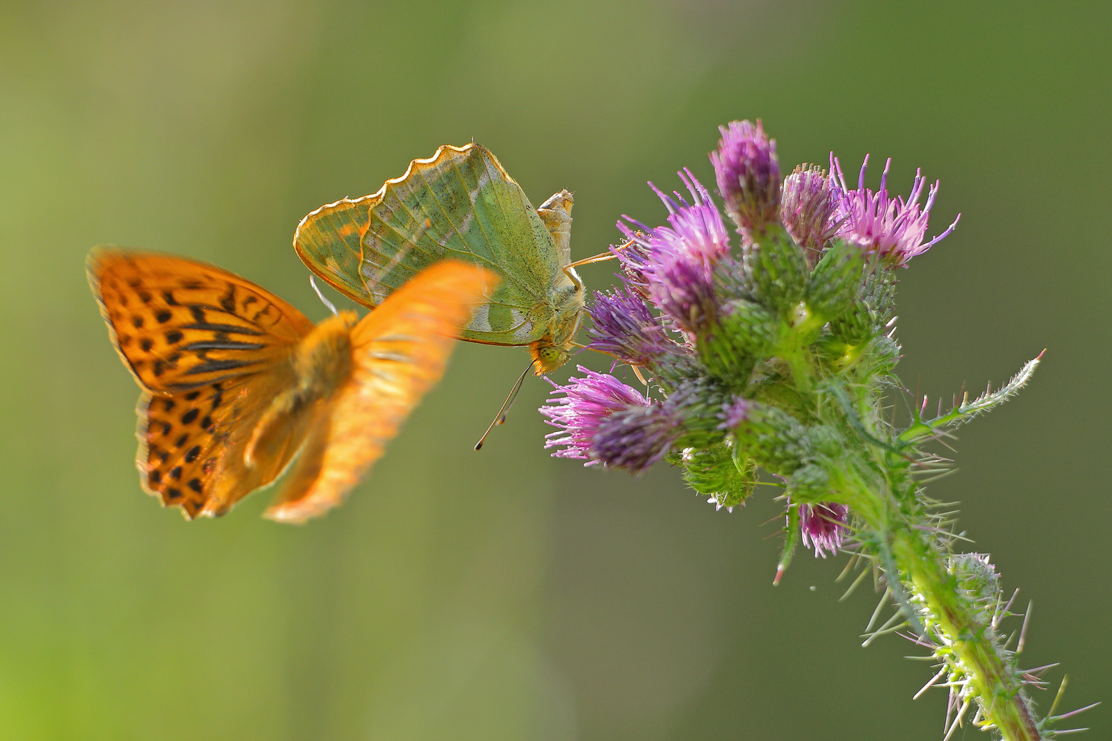 Courting Silver Washed Fritillaries