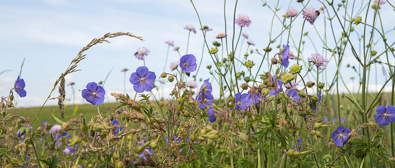 Scabious and Cranesbill 1
