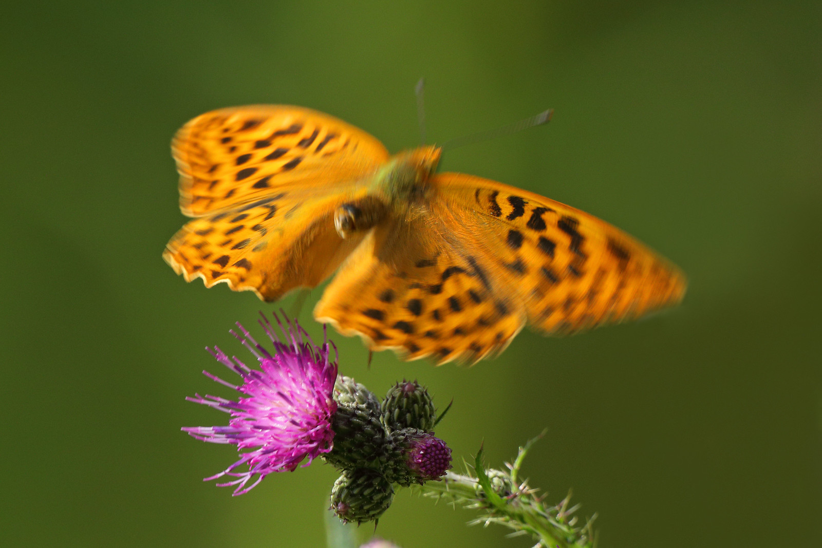 Silver Washed Fritillary in Flight