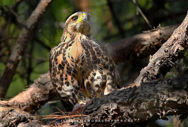 - GAVILAN MIXTO (Parabuteo unicinctus) Harris's hawk toma Botanico THAYS.- Argentina