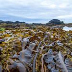Algae at Low Tide