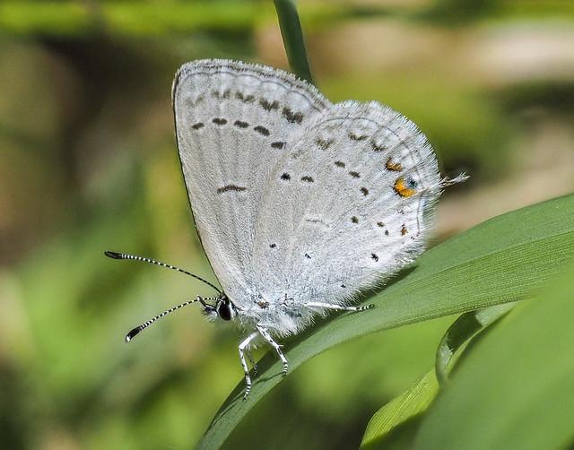 Western Tailed Blue - Cupido amyntula (Lycaenidae, Polyommatinae, Polyommatini) 119y-6092063