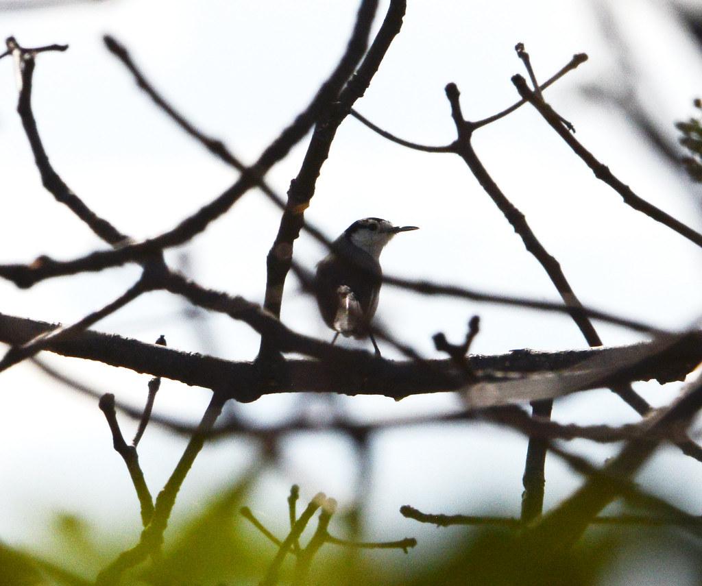 Perlita tropical (bilineata), Tropical gnatcatcher (blilineata), Polioptila plumbea. Gotas de agua, Jaen, Cajamarca, Peru