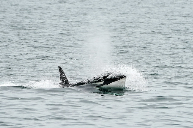 Orca(Killer Whale)  - San Juan Islands - Washington