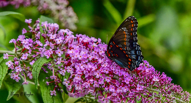 Butterfly on a butterfly bush on the Tennessee Cumberland Plateau