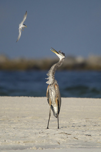 Great Blue Heron under attack by Least Tern