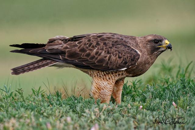 Swainson's Hawk - Alternative Pose