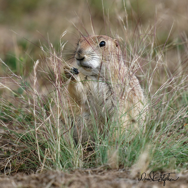 Prairie Dog Eating Weed