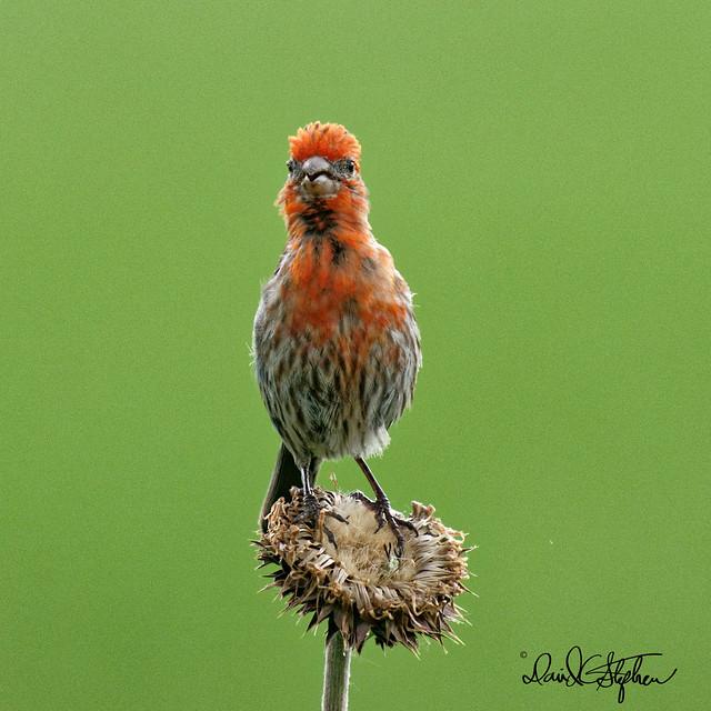Male House Finch Sings A Happy Tune