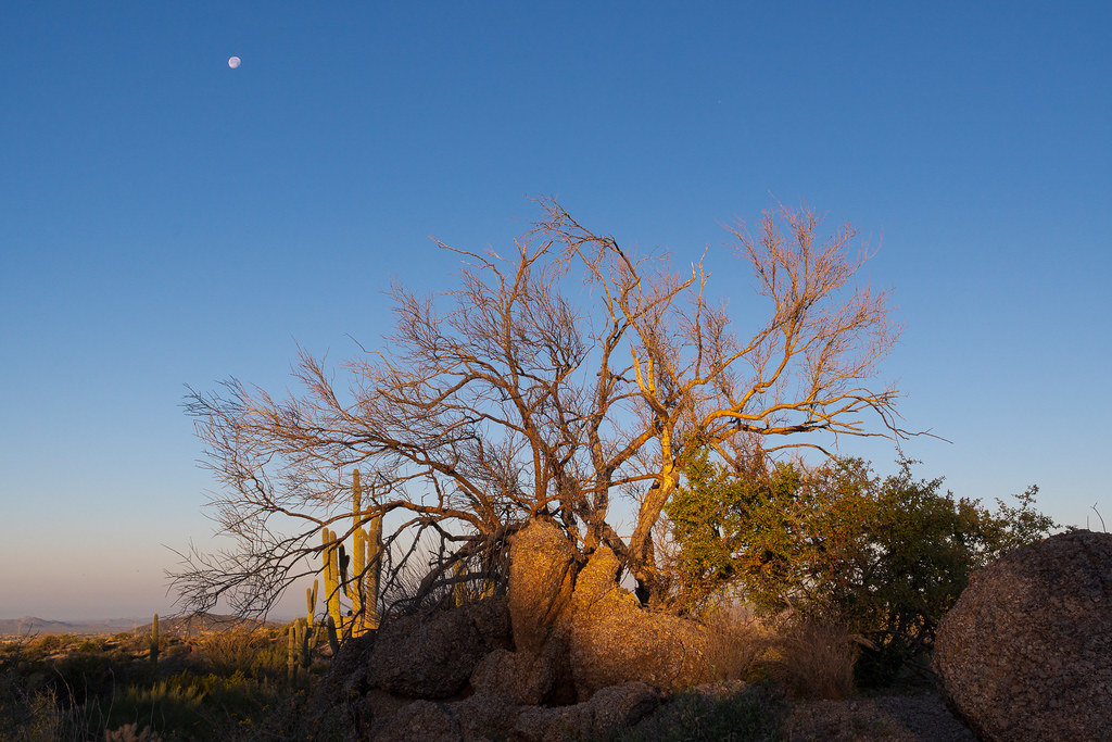 A tree is lit by the rising sun atop a hill looking out over the desert with the moon in the background along the Latigo Trail in McDowell Sonoran Preserve in Scottsdale, Arizona on Christmas morning, 2018