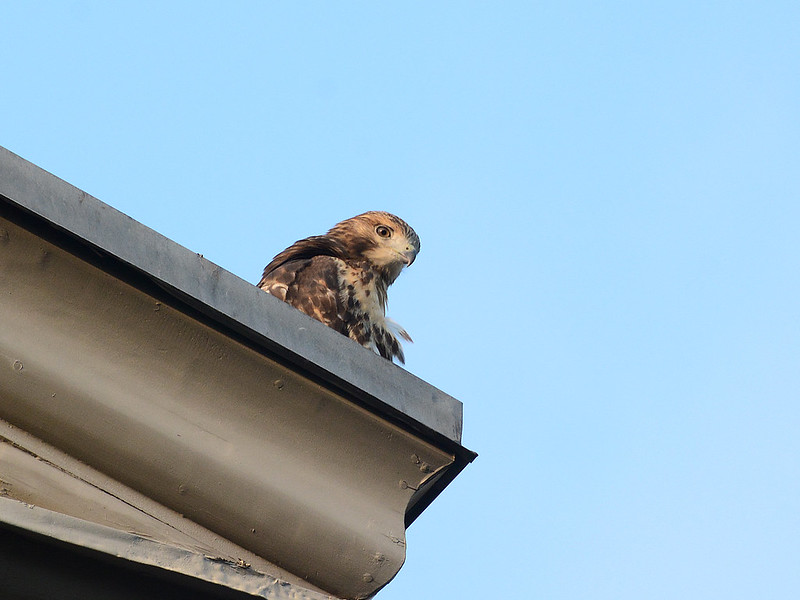 Hawk Fledgling on Eave -- 4028