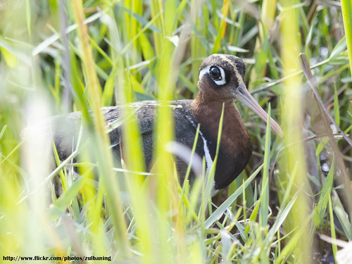 Greater Painted Snipe, female