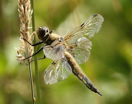 Dragonfly  (Four-spotted Chaser) (Explored)