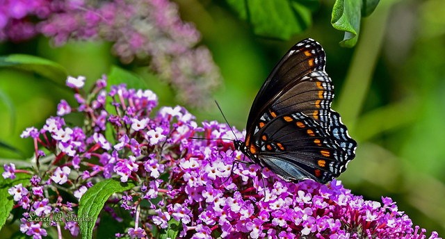 Red-spotted Purple Admiral butterfly  on butterfly bush, Tennessee's Cumberland Plateau