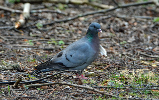 STOCK DOVE at PAXTON NR