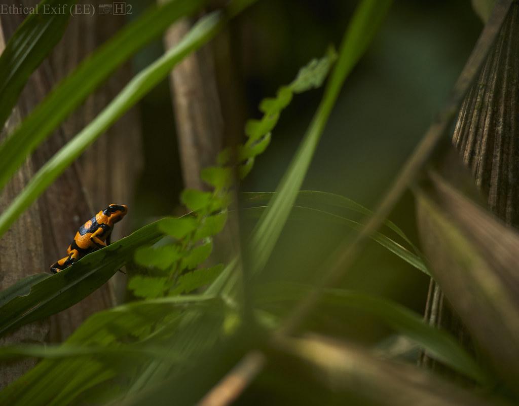 Lehmann's poison dart frog (Oophaga lehmanni)