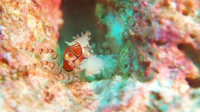 他の蟹とは違って「立つ姿」なのも面白いよね。キンチャクガニ