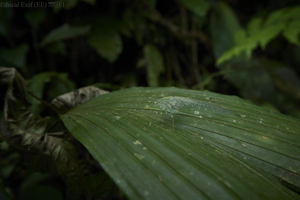 Camouflaged phaneropterine katydid