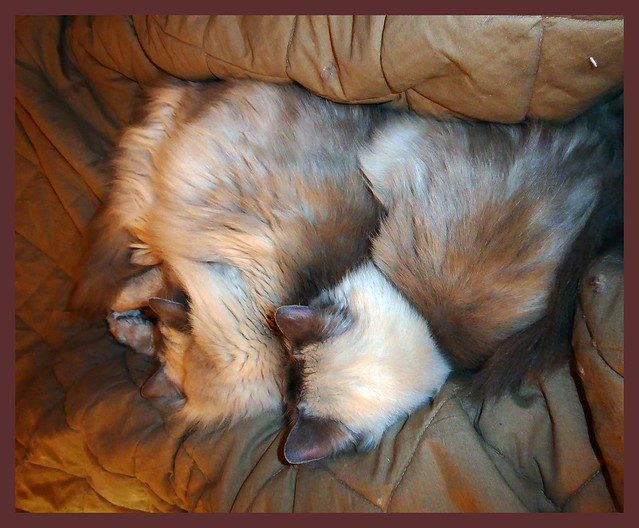 009636 2017 20 December Kyan & Whitesock our Ragdolls. The two brothers take a nap.  (Photo by Reinier Mensink) L2