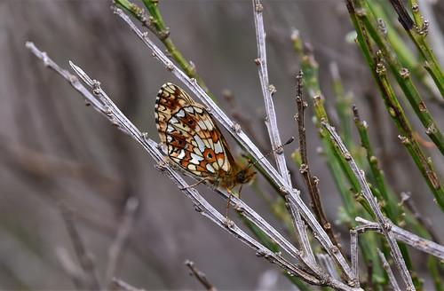 Small Pearl Bordered Fritillary (Boloria selene)