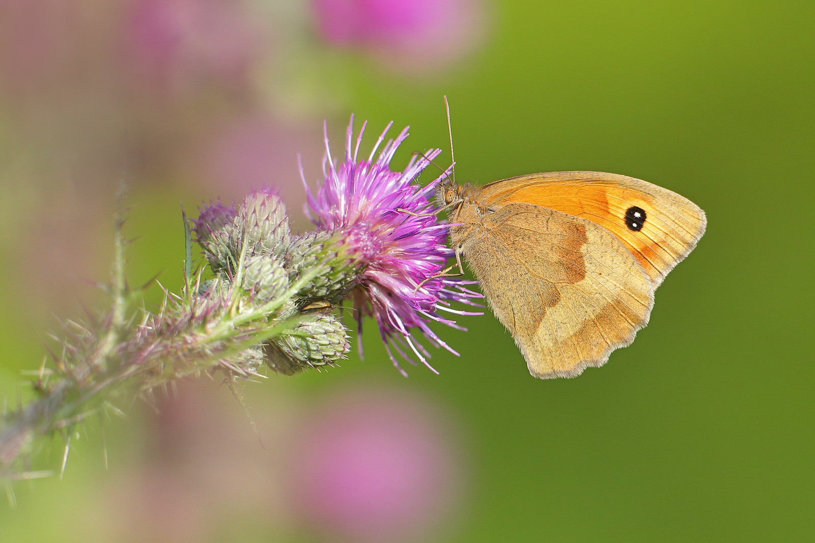 Meadow Brown on Thistle