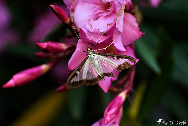 Pyrale du buis sur laurier-rose