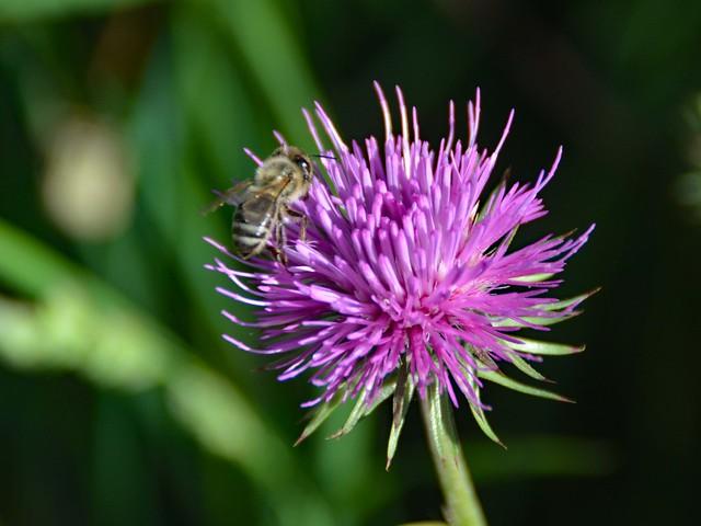 Fiore di cardo con ape