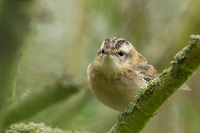 Juvenile Sedge Warbler