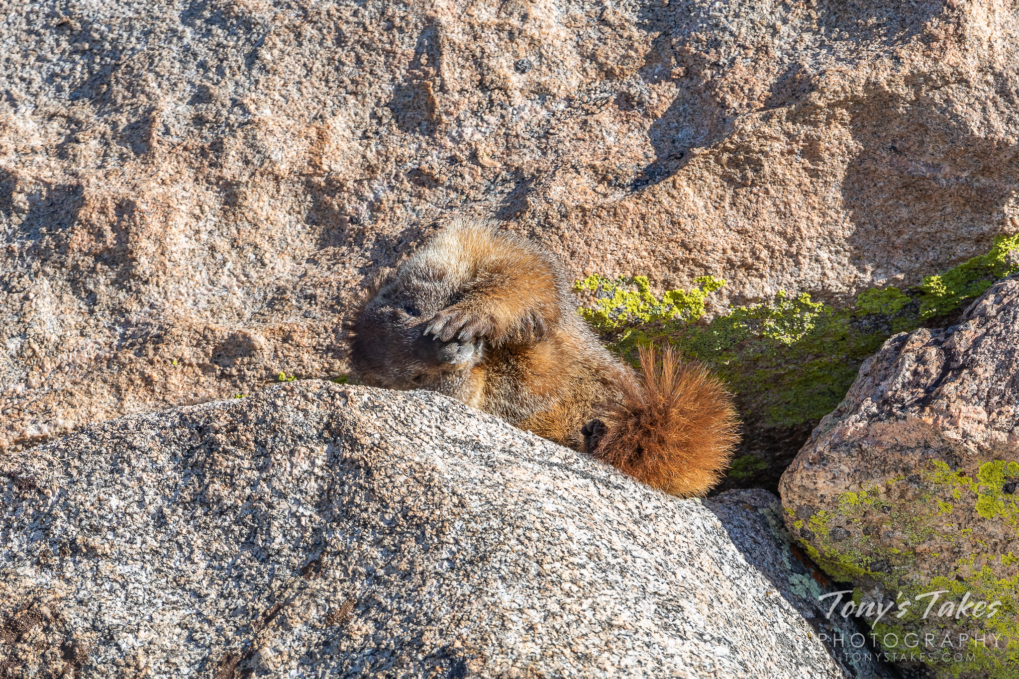 A yellow-bellied marmot cleans the bottom of its paws on Mount Evans in Colorado. (© Tony's Takes)