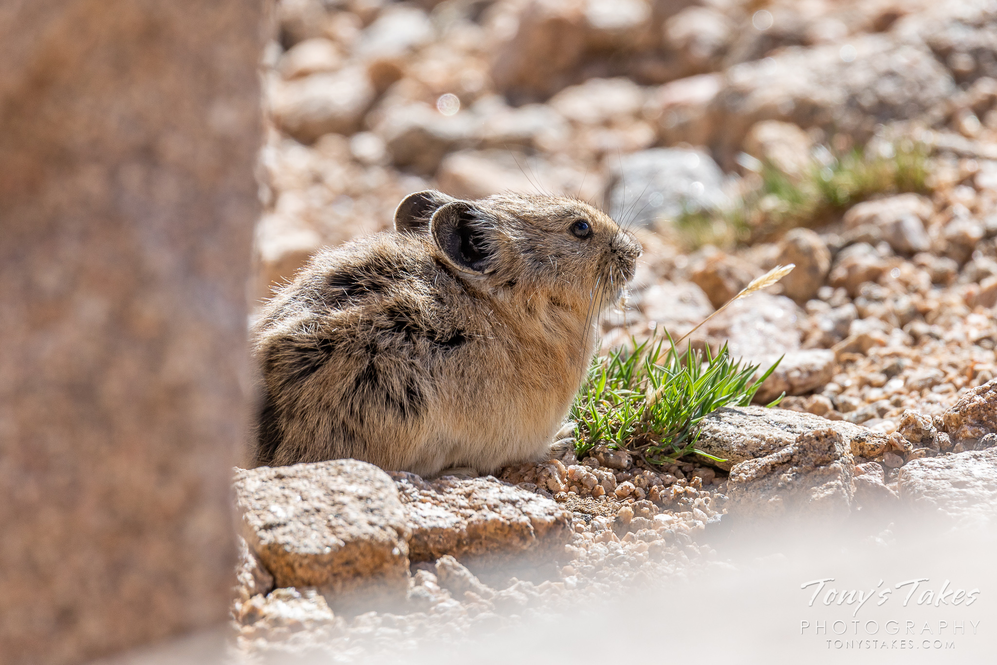 An American pika emerges from its den to enjoy a quiet morning on Mount Evans. (© Tony's Takes)