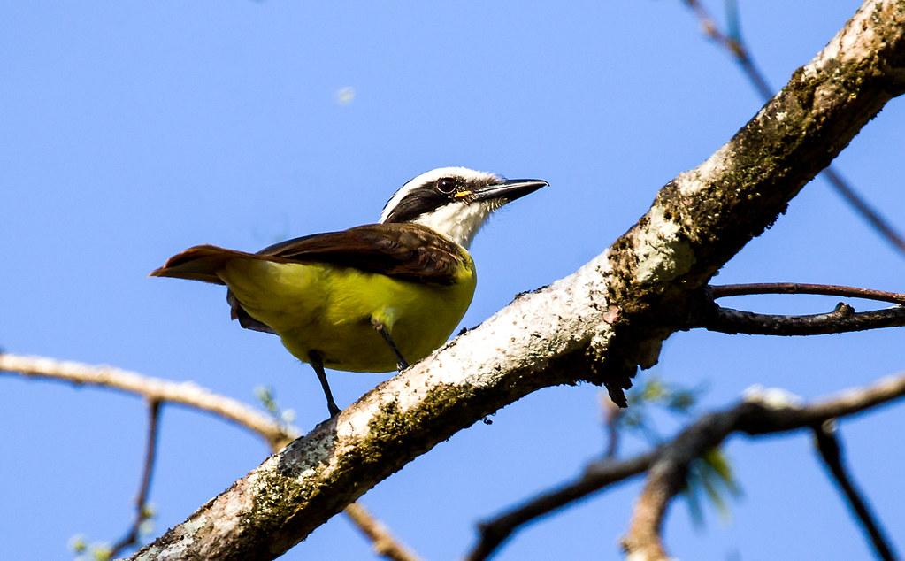 0P7A9444  Great Kiskadee, juvenile , Panama