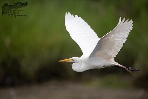Great Egret 7_8