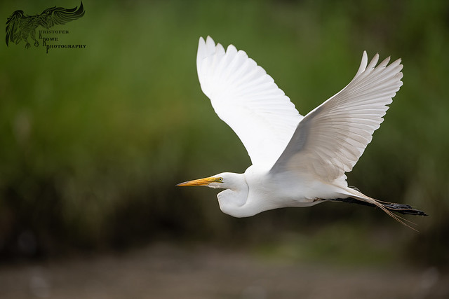 Great Egret 7_8