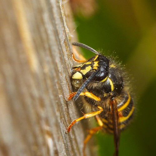 Wasp making paper 2 | by Alf Branch