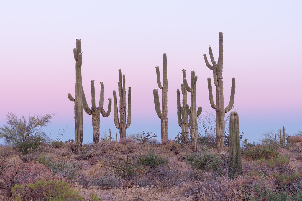 Seven tall saguaros grown near one another in front of the pink and blue skies of dawn on the Latigo Trail in the Brown's Ranch area of McDowell Sonoran Preserve in Scottsdale, Arizona in July 2019