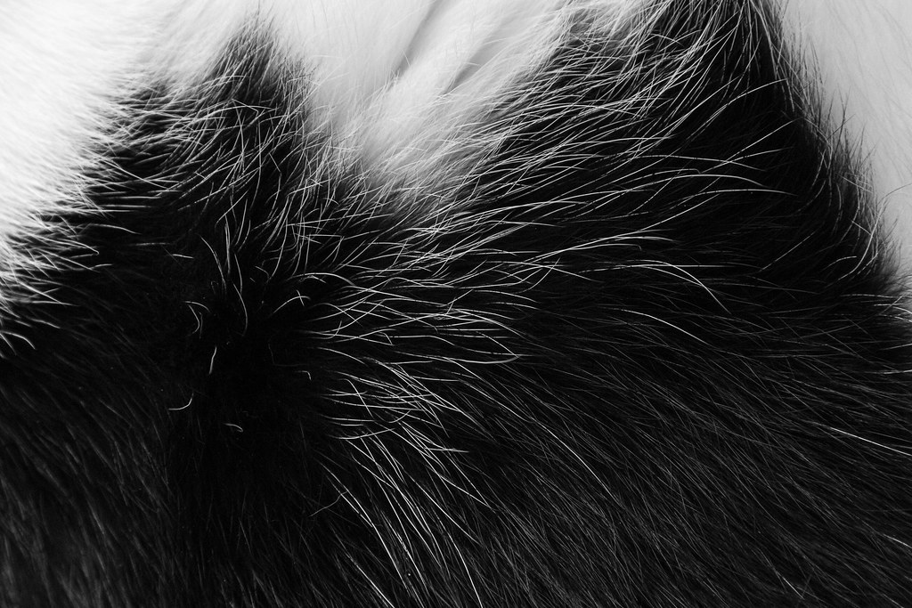 A close-up of the black-and-white patterns in the fur of our cat Scout in May 2012