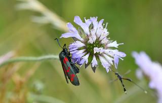 Six spot burnet moth at Harbury Spoilbank