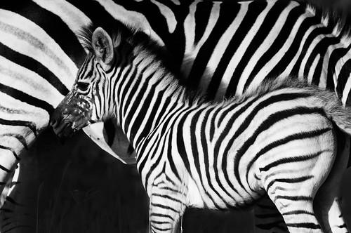 Zebra Black and White...