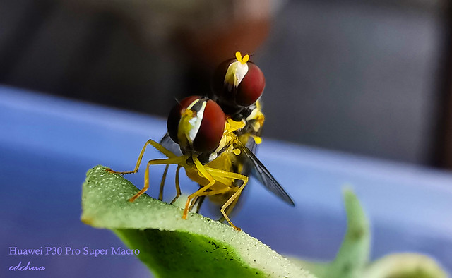 Hoverflies copulating. (Syrphidae family), They Mimic Bees, are stingless,  syrphid flies feed on pollen and are pollinators for many plants