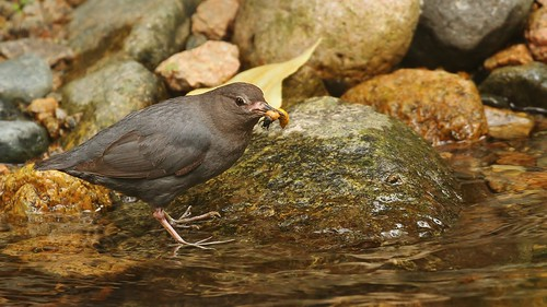 snack for a Dipper