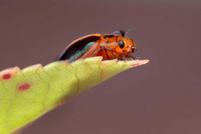 Coeloptera (Genus Plagiodera)