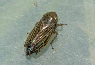 Deltocephalus pulicaris pos