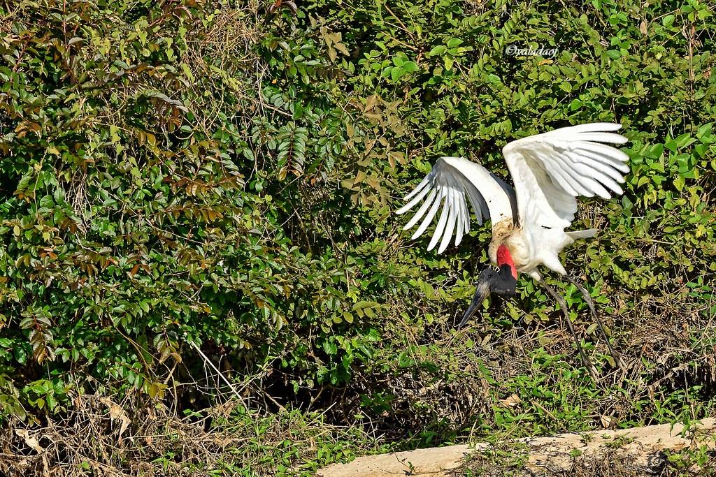 Tuiuiú - Jabiru mycteria - Jabiru - Pantanal, Cáceres MT - Brasil
