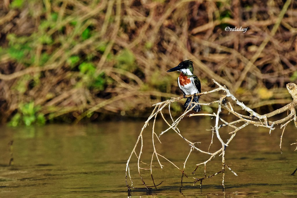 Martim-pescador grande - Megaceryle torquata - Pantanal, Cáceres MT - Brasil