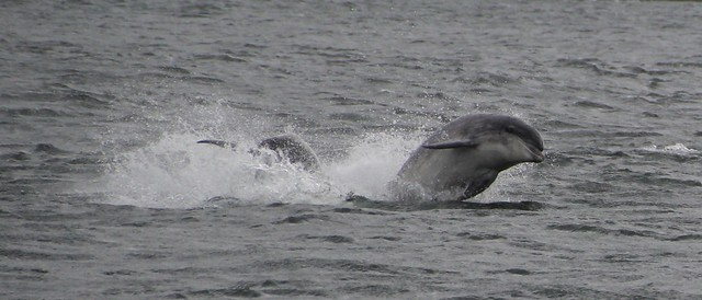 Dolphins Jumping, Highlands, Scotland.