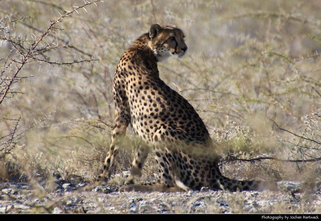 Cheetah, Etosha NP, Namibia