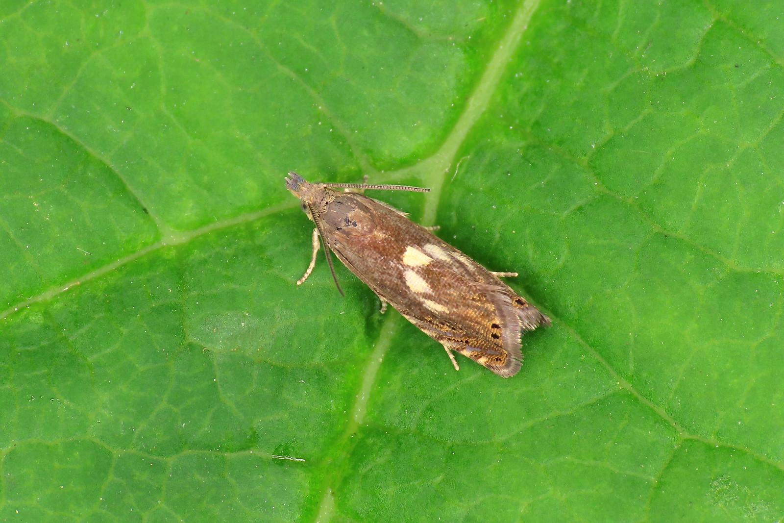 49.321 Common Drill - Dichrorampha petiverella