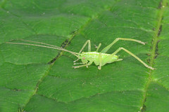 Oak Bush-cricket - Meconema thalassinum