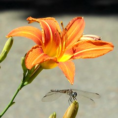 Dragonfly and day lily
