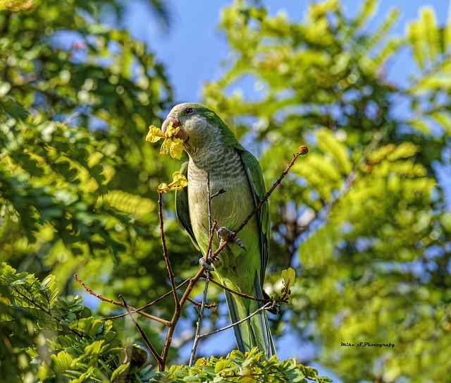 Flowers for diner- Monk parakeet